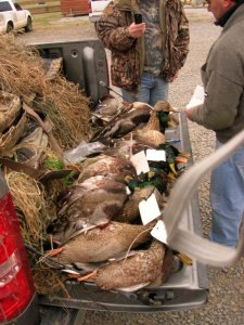 A bed full of Mallards for some hunters in the ArkLaTex region