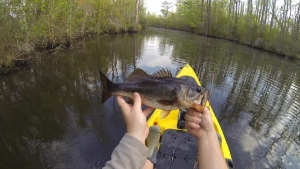 A good size bass for a 5 wt fly rod. Caught on a small popper.