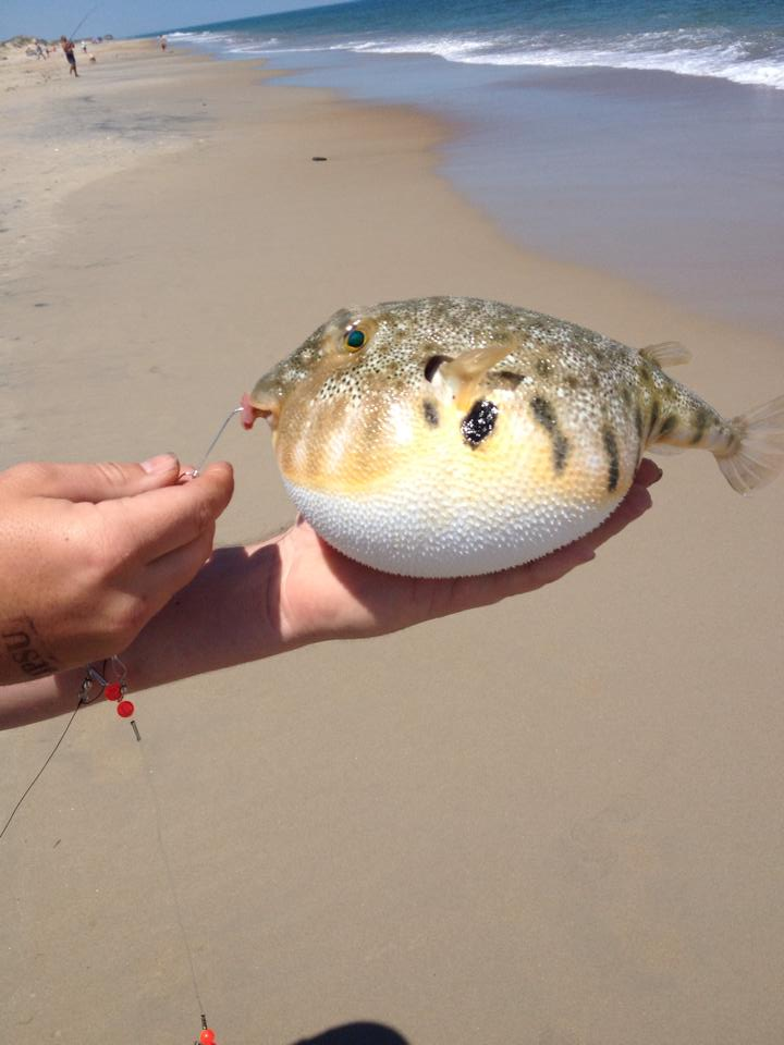 How to catch fish in the surf apto outdoors for Outer banks fly fishing